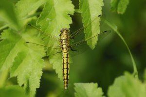 La libellule femelle Orthétrum réticulé (Orthetrum cancellatum) -  Derrière l'étang de la Loy -  Réserve de Marne & Gondoire