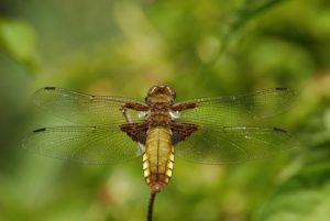 La libellule femelle Libellule déprimée (Libellula depressa)<br>  Derrière l'étang de la Loy<br> Site classé de la vallée de La Brosse et de La Gondoire