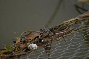 La libellule Orthétrum réticulé (Orthetrum cancellatum) -  Etang de la Loy -  Réserve de Marne & Gondoire