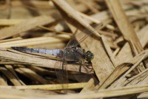 La libellule mâle Orthétrum réticulé (Orthetrum cancellatum) -  Etang de la Loy -  Réserve de Marne & Gondoire