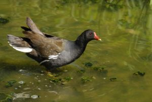 La Gallinule poule d'eau (Gallinula chloropus) -  Etang de la Loy -  Réserve de Marne & Gondoire