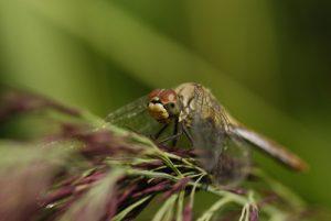 Libellule Sympétrum sp. (Sympetrum sp) -  Derrière l'étang de la Loy -  Réserve de Marne & Gondoire
