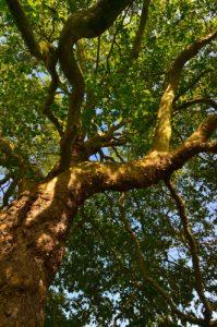 Le Platane commun ou platane à feuille d'érable (Platanus ×acerifolia)<br> Site classé de la vallée de La Brosse et de La Gondoire