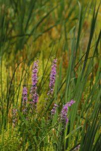 Salicaire (Lythrum salicaria)<br> Etang de la Loy<br> Site classé de la vallée de La Brosse et de La Gondoire