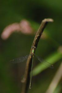Libbellule Leste vert (Lestes viridis) -  [Critères : coloration verte en forme de pointe, grands ptérostigma clairs] -  Réserve de Marne & Gondoire