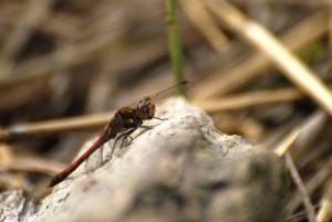 La libellule Sympétrum strié (Sympetrum striolatum) -  Etang de la Loy -  Réserve de Marne & Gondoire