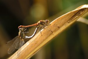 Accouplement de la libellule Sympétrum strié (Sympetrum striolatum) -  Réserve de Marne & Gondoire