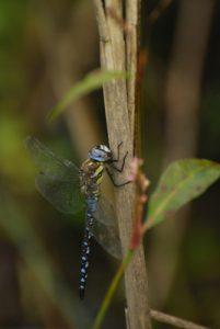 La libellule Æschne mixte (Aeshna mixta)<br> Etang de la Loy<br> Site classé de la vallée de La Brosse et de La Gondoire