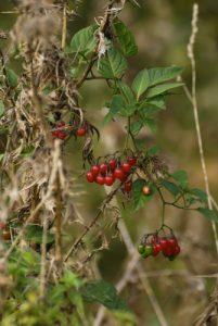 La Douce-amère ou Morelle douce-amère (Solanum dulcamara)<br> Site classé de la vallée de La Brosse et de La Gondoire
