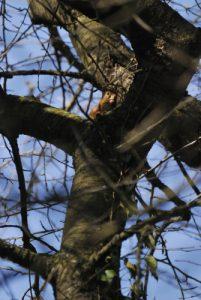 L'écureuil d'Eurasie ou écureuil roux (Sciurus vulgaris)<br> Etang de la Loy<br> Réserve de Marne &amp; Gondoire