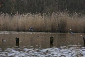 Le Héron cendré (Ardea cinerea) -  Etang de la Loy -  Réserve de Marne & Gondoire