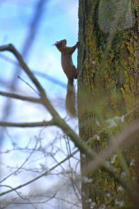 L'écureuil d'Eurasie ou écureuil roux (Sciurus vulgaris) -  Réserve de Marne & Gondoire