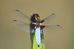 La Libellule déprimée mâle (Libellula depressa)<br> La petite mare de la vallée du Ru de la Brosse<br> Site classé de la vallée de La Brosse et de La Gondoire