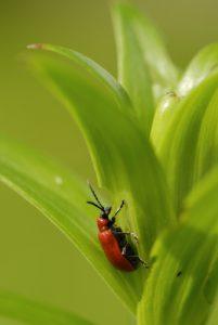 Le Criocère du lis (Lilioceris lilii)<br> Réserve de Marne &amp; Gondoire