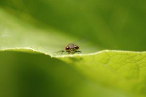 Nymphe au corps de feu (Pyrrhosoma nymphula) - La petite mare -  Réserve de Marne & Gondoire