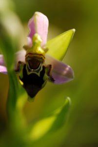 L'Ophrys abeille (Ophrys apifera) -  Jardin de la maison -  Limite de Réserve de Marne & Gondoire