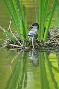 Jeune Foulque macroule (Fulica atra) dans leur nid -  Etang de la Loy - Réserve de Marne & Gondoire