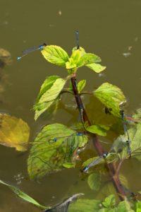 Tandem de Naïade au corps vert (Erythromma viridulum) -  [Critères : yeux rouges, croix noire sur extrémité du mâle, bande antéhumérales presques complètes] -  Etang de la Loy - Réserve de Marne & Gondoire