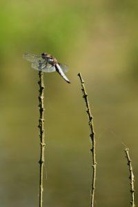 La libellule déprimée mâle (Libellula depressa)<br>  La petite mare<br> Site classé de la vallée de La Brosse et de La Gondoire