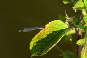 Naïade au corps vert (Erythromma viridulum) -  [Critères : yeux rouges, croix noire sur extrémité du mâle, bande antéhumérales presques complètes] -  Etang de la Loy - Réserve de Marne & Gondoire