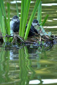 Jeunes Foulques macroule (Fulica atra) dans leur nid -  Etang de la Loy - Réserve de Marne & Gondoire