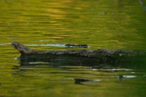 Le ragondin (Myocastor coypus) -  Etang de la Loy -  Réserve de Marne & Gondoire