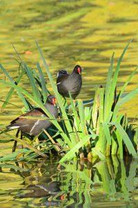 Gallinule poule-d'eau (Gallinula chloropus)<br> Etang de la Loy<br> Réserve de Marne &amp; Gondoire