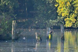 Le Grand Cormoran, ou Cormoran commun (Phalacrocorax carbo)<br> Réserve de Marne &amp; Gondoire