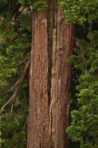 Le Séquoia géant (Sequoiadendron giganteum)<br> Parc du château de Rentilly<br> Réserve de Marne &amp; Gondoire
