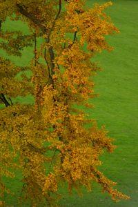 Couleurs automnales du Ginkgo (Ginkgo biloba)<br> Parc du château de Rentilly<br> Réserve de Marne &amp; Gondoire