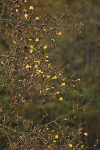 Tulipier de Virginie (Liriodendron tulipifera)<br> Parc du château de Rentilly<br> Site classé de la vallée de La Brosse et de La Gondoire