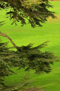 Le Cèdre de l'Atlas ou Cèdre bleu (Cedrus atlantica)<br> Parc du château de Rentilly<br> Site classé de la vallée de La Brosse et de La Gondoire