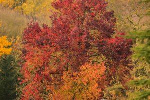 Le Copalme d'Amérique ou Liquidambar (Liquidambar styraciflua)<br> Parc du château de Rentilly<br> Site classé de la vallée de La Brosse et de La Gondoire