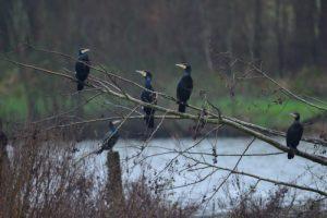 Le Grand Cormoran, ou Cormoran commun (Phalacrocorax carbo)<br> Etang de la Loy<br> Réserve de Marne &amp; Gondoire