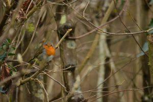 Le Rougegorge familier (Erithacus rubecula)<br> Réserve de Marne &amp; Gondoire