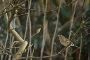 Pinson des arbres femelle (Fringilla coelebs)<br> Réserve de Marne &amp; Gondoire
