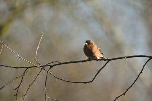 Le Pinson des arbres (Fringilla coelebs)<br> Réserve de Marne &amp; Gondoire