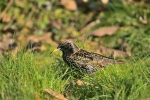 Étourneau sansonnet (Sturnus vulgaris) en plumage nuptial<br> Réserve de Marne &amp; Gondoire