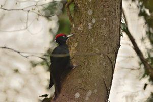 Le Pic noir (Dryocopus martius)<br> Réserve de Marne &amp; Gondoire