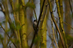 La Fauvette à tête noire (Sylvia atricapilla)<br>  Derrière l'étang de la Loy<br> Site classé des vallées de la Brosse &amp; de la Gondoire