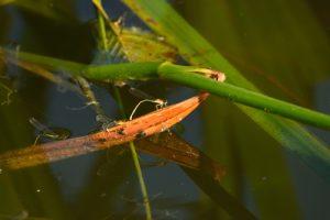 Ponte d'Ischnures élégantes (Ischnura elegans)<br> Individu de droite : immature de type C<br> [Critères : ptérostigma bicolore]<br> Site classé de la vallée de La Brosse et de La Gondoire