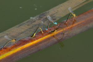 Ponte d'Ischnures élégantes (Ischnura elegans)<br> [Critères : ptérostigma bicolore]<br> Site classé de la vallée de La Brosse et de La Gondoire