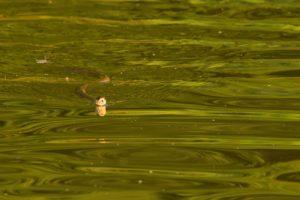 La couleuvre à collier (Natrix natrix)<br> Étang de la Loy<br> Réserve de Marne &amp; Gondoire
