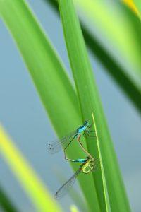 Accouplement d'Ischnures élégantes (Ischnura elegans)<br> [Critères : ptérostigma bicolore]<br> Site classé de la vallée de La Brosse et de La Gondoire