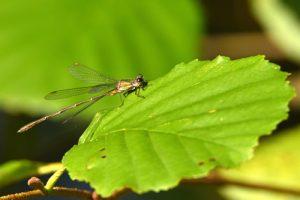 Leste vert mâle (Lestes viridis)<br> [Critères : pointe verte sur le thorax, ptérostigma clair bordé de noir]<br> Site classé de la vallée de La Brosse et de La Gondoire