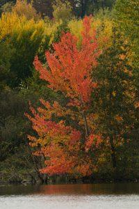 Le Peuplier tremble ou Tremble (Populus tremula)<br> Site classé de la vallée de La Brosse et de La Gondoire