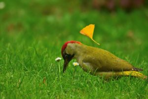 Pic vert mâle (Picus viridis)<br> Site classé de la vallée de La Brosse et de La Gondoire