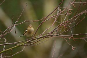Le Pinson des arbres femelle (Fringilla coelebs)<br> Vallée de La Brosse<br> Réserve de Marne &amp; Gondoire
