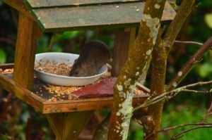 Le rat brun ou surmulot (Rattus norvegicus)<br> Réserve de Marne &amp; Gondoire