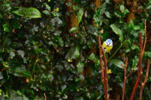 La Mésange bleue (Cyanistes caeruleus)<br> Réserve de Marne &amp; Gondoire